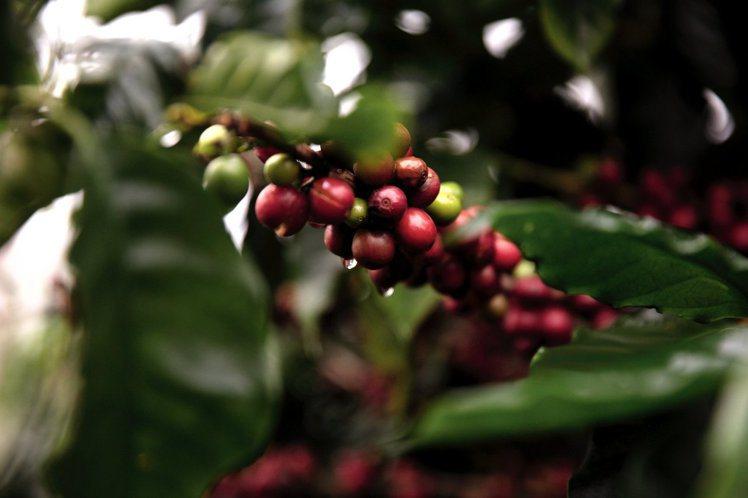 哥斯大黎加尼科亞半島栽種的綠咖啡在當地有「黃金豆」之稱。圖/香奈兒提供
