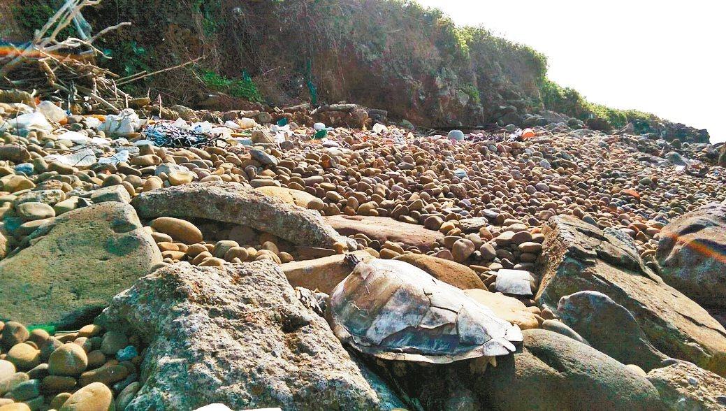 淡水下圭柔山舊垃圾掩埋場因坍方導致垃圾遍布海邊,其中驚見保育類綠蠵龜屍體。 圖/...