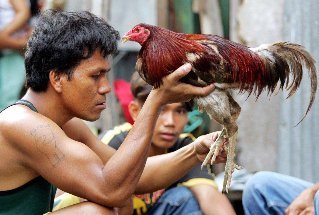 對菲律賓男人來說,公雞亦是自己的形體。男人們在鬥雞場上讓鬥雞成為自己。 圖/路透...