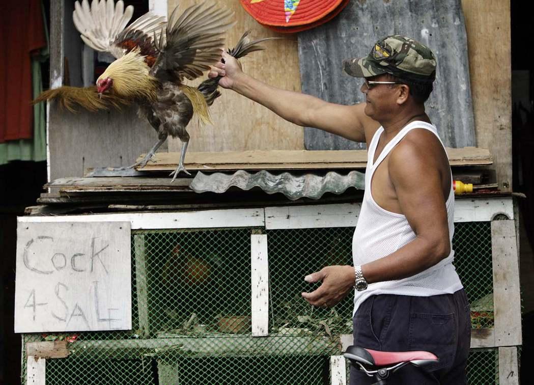 菲律賓的鬥雞能公開飼養,還看到了鬥雞比賽的大幅宣傳廣告,圖為菲律賓鬥雞飼養主的販...