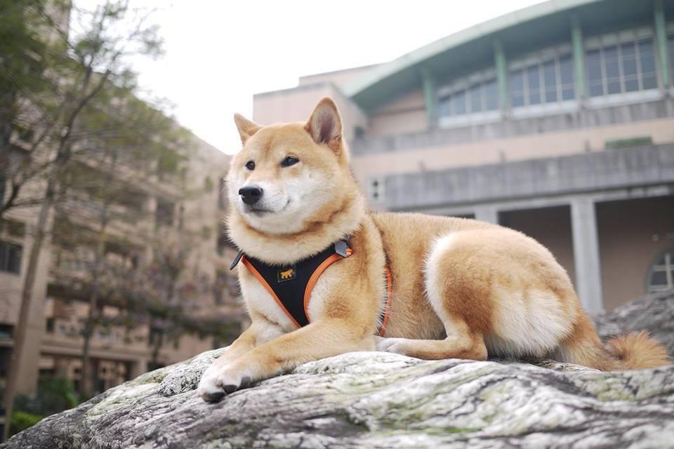 軟化人心,狗兒特別容易做到,動物行為學之父康德拉‧勞倫茲說「狗的魅力在於牠們的深厚情誼和牠們與人類之間的強烈精神性維繫」。圖為安溪國中校犬可樂。 圖/安溪國中提供