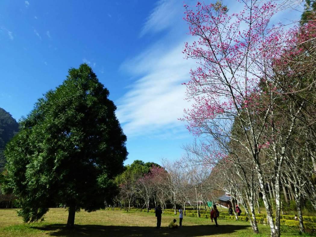 仁愛鄉奧萬大櫻花目前現正綻放,搭配藍天白雲景致,相當吸睛。圖/南投林管處提供