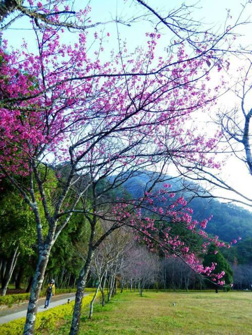 仁愛鄉奧萬大地區櫻花受到暖冬影響提前綻放,染紅蕭瑟冬季相當吸睛。圖/南投林管處提...