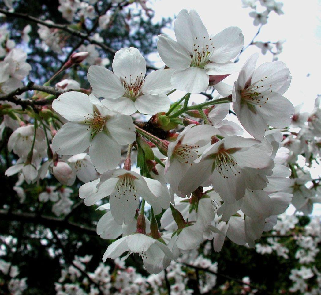 武陵農場櫻花季今年從2月11日起,持續到2月28日,期間將進行交通管制;吉野櫻將...