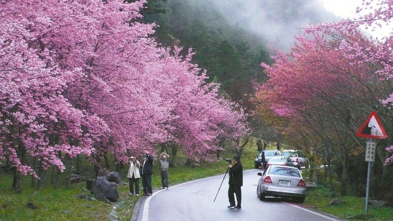 武陵農場櫻花季即將登場。 圖/雪霸國家公園管理處提供