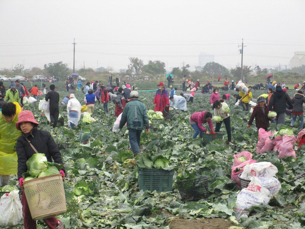 高麗菜價崩盤,台南市有農民乾脆開放自採,採1顆僅新台幣10元,原訂開放2天,哪知...