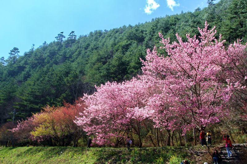 春季來臨,近距離感受櫻花之美,享受簇擁浪漫的幸福。(欣傳媒資料照)