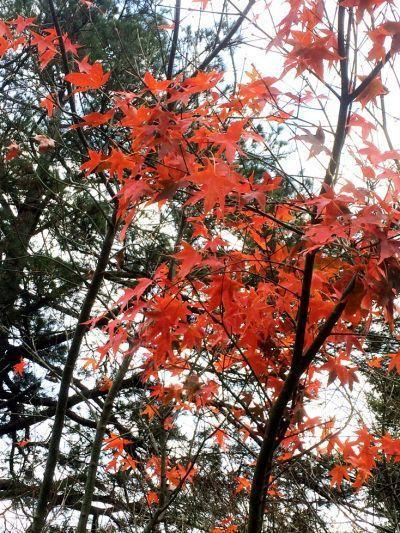 每逢入秋之際園區內楓葉轉紅,總吸引許多遊客前來賞楓。(薛琳云攝影)