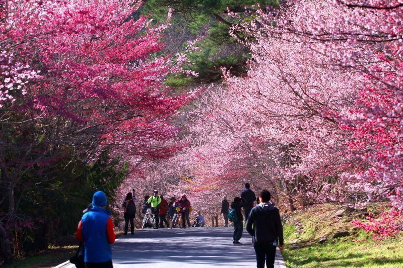 每年春季紅粉佳人櫻花、昭和櫻花紛紛綻放盛開,將農場妝點得美不勝收。(欣傳媒資料照...