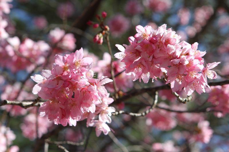 樹梢上櫻花瓣隨風緩緩飄落,猶如下了一場粉紅雨般十分浪漫。(欣傳媒資料照)