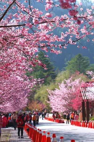 每年二月武陵農場皆會進行「春節暨櫻花季交通疏運」管制作業,想要前往賞花的民眾建議...