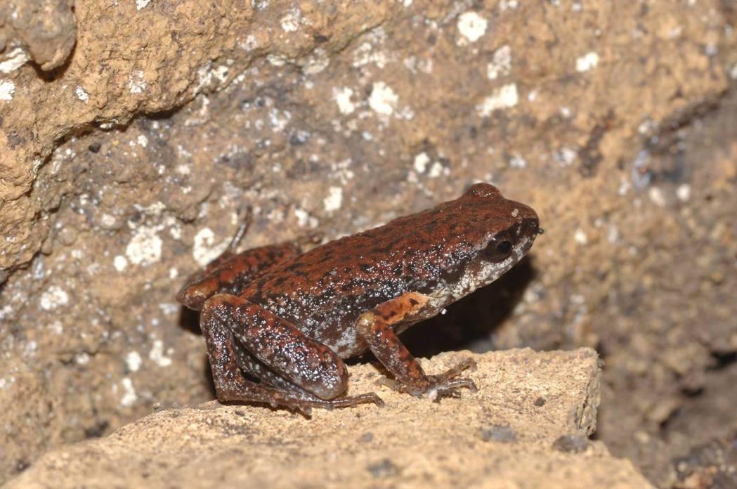 史丹吉氏小雨蛙是系節性生活於溶洞中的生物。圖/楊吉壽提供