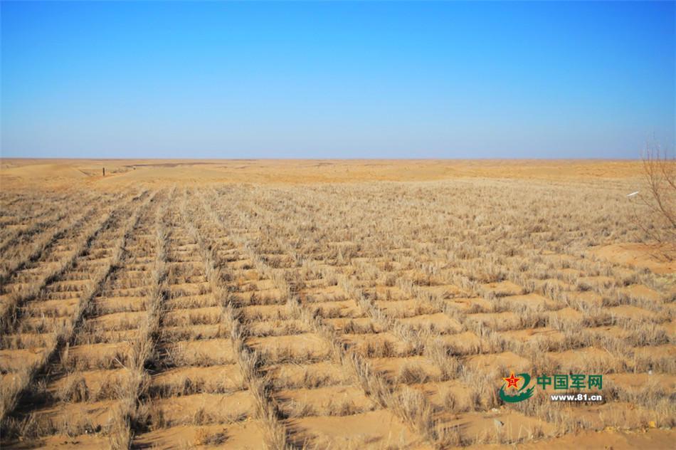 官兵們種植的防沙草。(中國軍網)