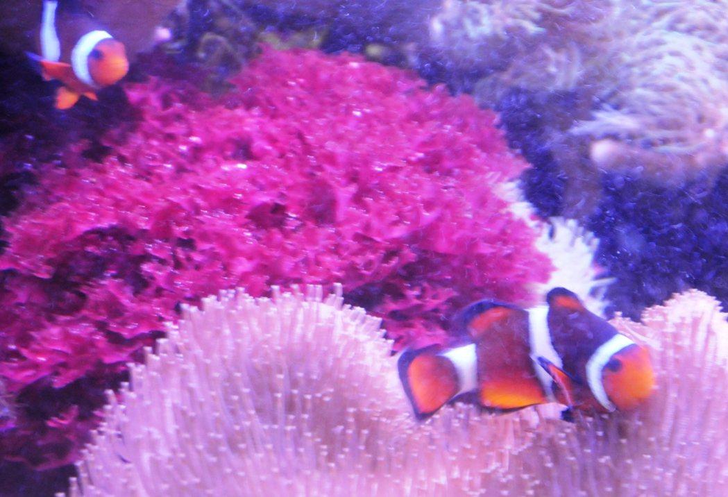 國立海科館海洋研究中心復育的小丑魚很受大小朋友喜愛。記者游明煌/攝影
