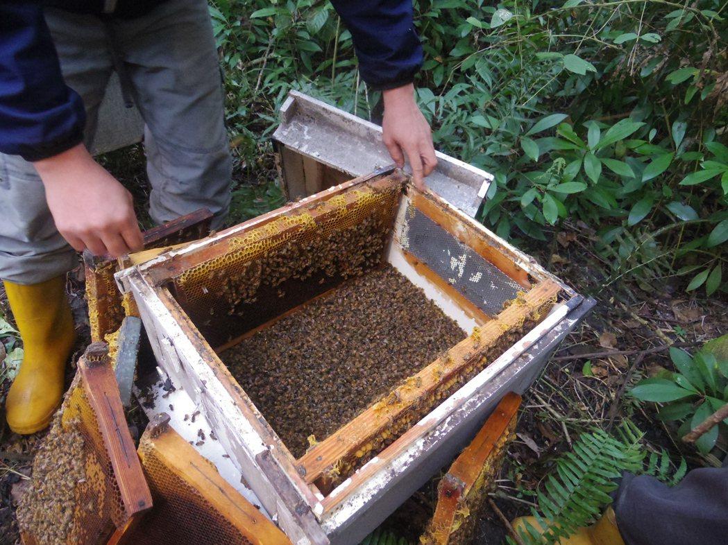 第四代養蜂人程育鈞說,因蜂群接觸頻繁,導致毒性傳染迅速,只能盡量搶救。記者王思慧...