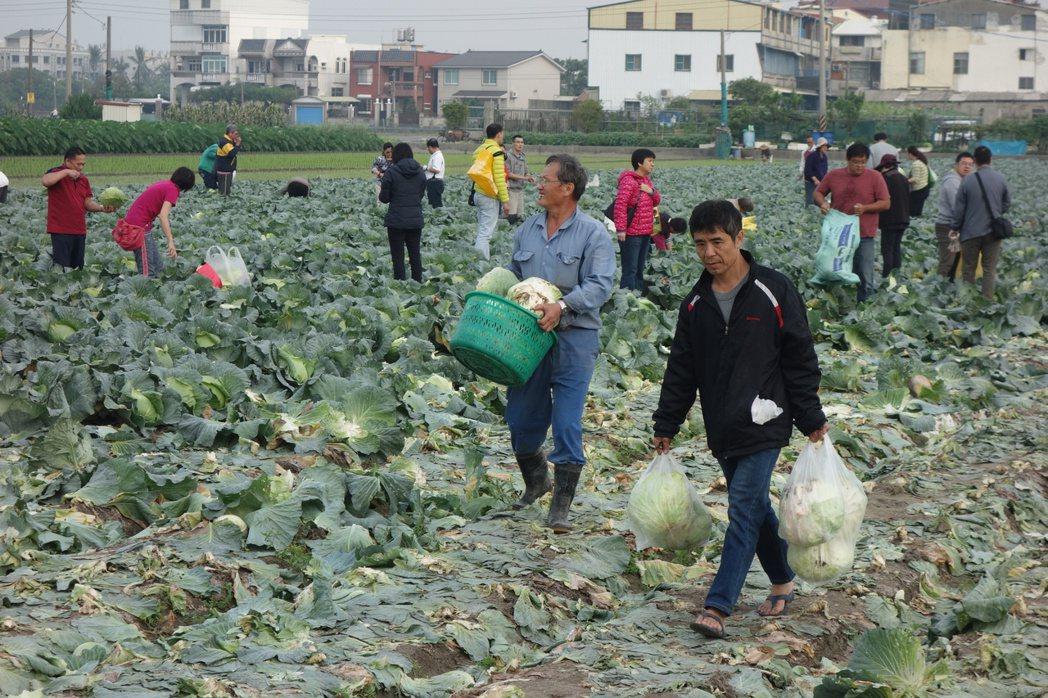 日前高麗菜崩盤,一粒喊價10至15元間,圖為民眾穿梭農田採高麗菜。圖/聯合報系資...