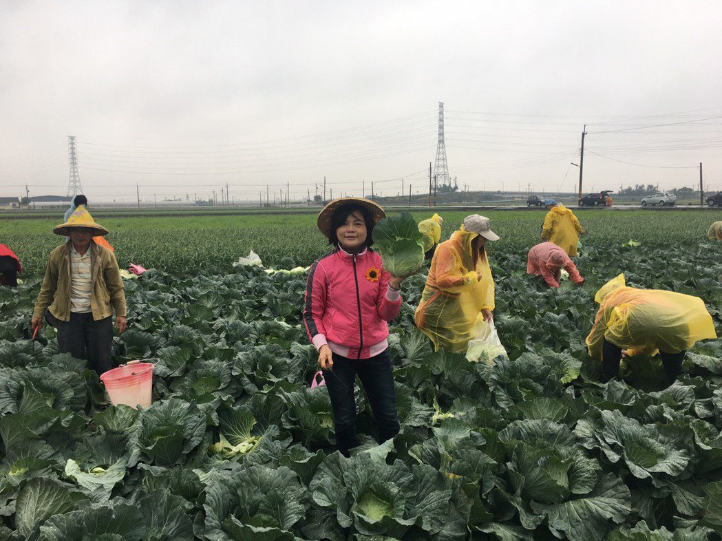 立委張麗善動員姊妹鄉親冒著風雨下田採高麗菜,搶救菜農,讓農民揪感心。張麗善/提供