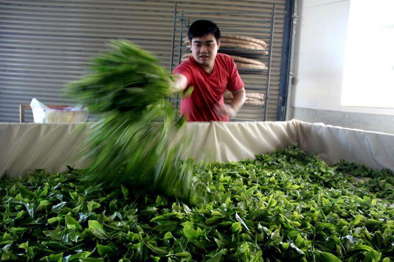支撐臺灣茶成為本土而純粹的象徵,是那些跨界而混雜的各種牽連。臺灣茶,必然本土,也...