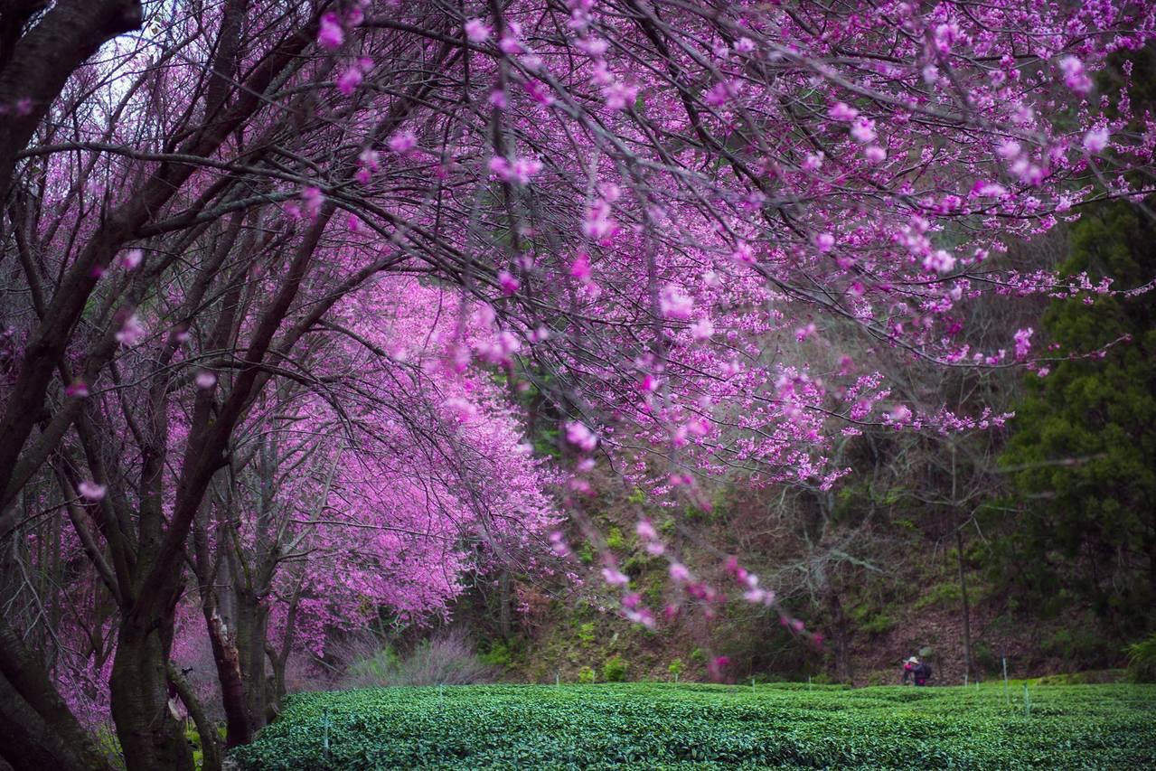 台中市武陵農場的櫻花,是台中海拔最高的賞櫻景點。圖/武陵農場提供
