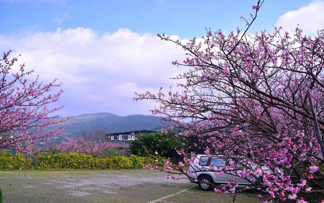 儘管今年櫻花花況不若往年,但是仍充滿粉紅色的浪漫氣息。圖/讀者林寬倉提供