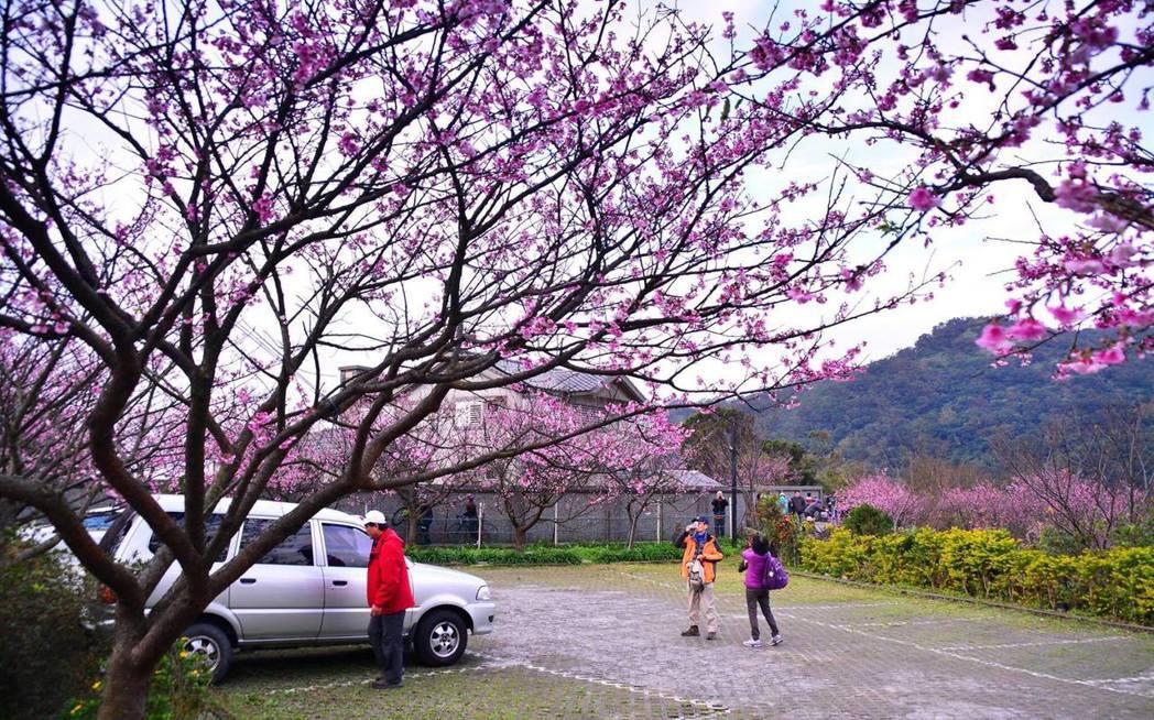 平菁街42巷周遭的櫻花已經開放,吸引民眾登山賞花。圖/讀者林寬倉提供
