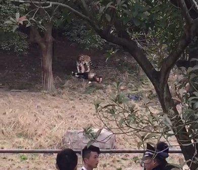 撕心裂肺!实拍宁波动物园老虎咬人全程!死者未买票 翻墙进老虎区