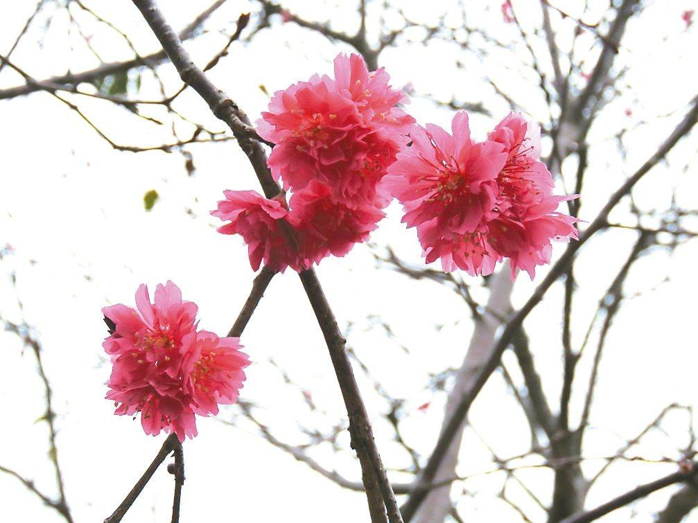 今年屬暖冬,台灣花卉生長周期大受影響,需受寒冬洗禮的櫻花,只有少數開花,花況不如...