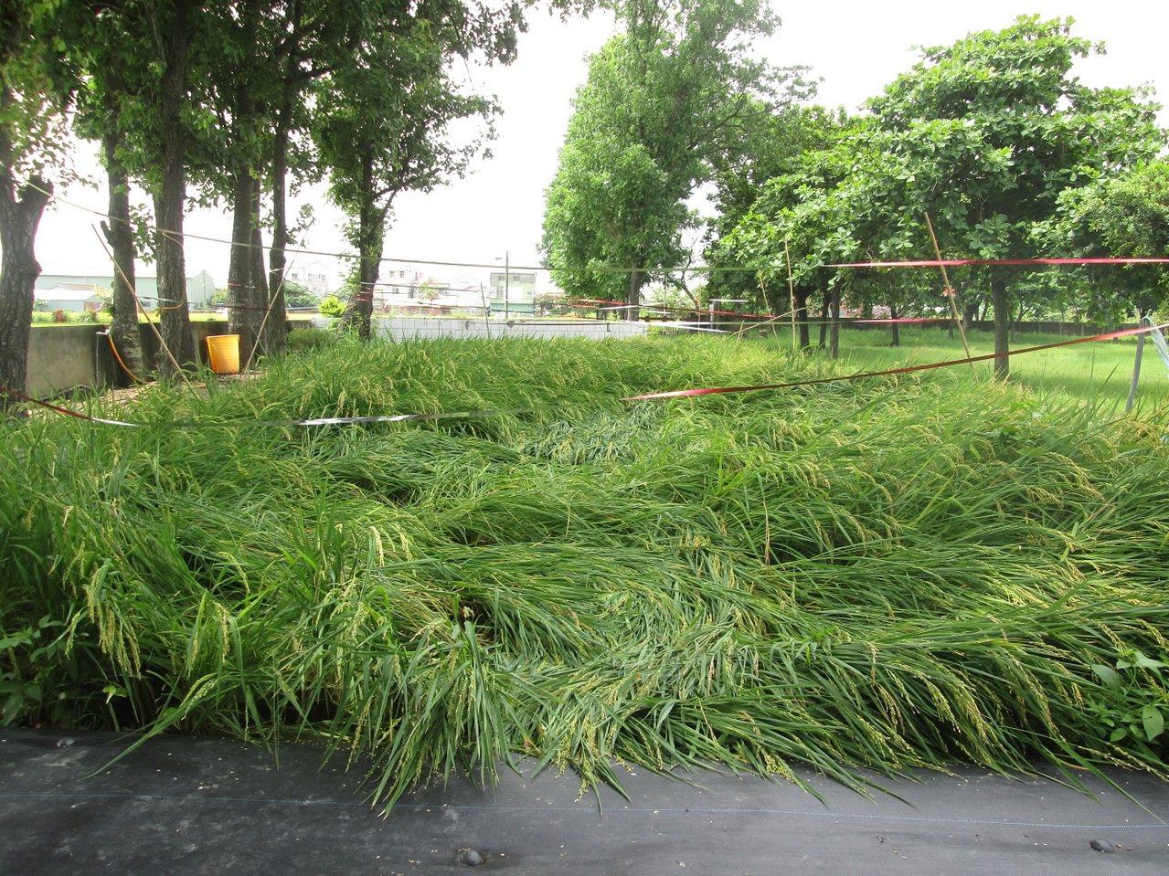 大雨之後,菁寮國中倒伏的稻子。