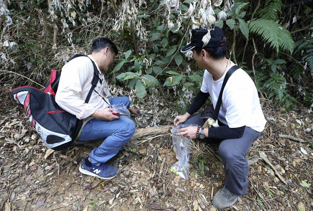 研究員在屏東來義鄉山區採集瀕危植物「武威烏皮茶」的果實。記者黃威彬/攝影