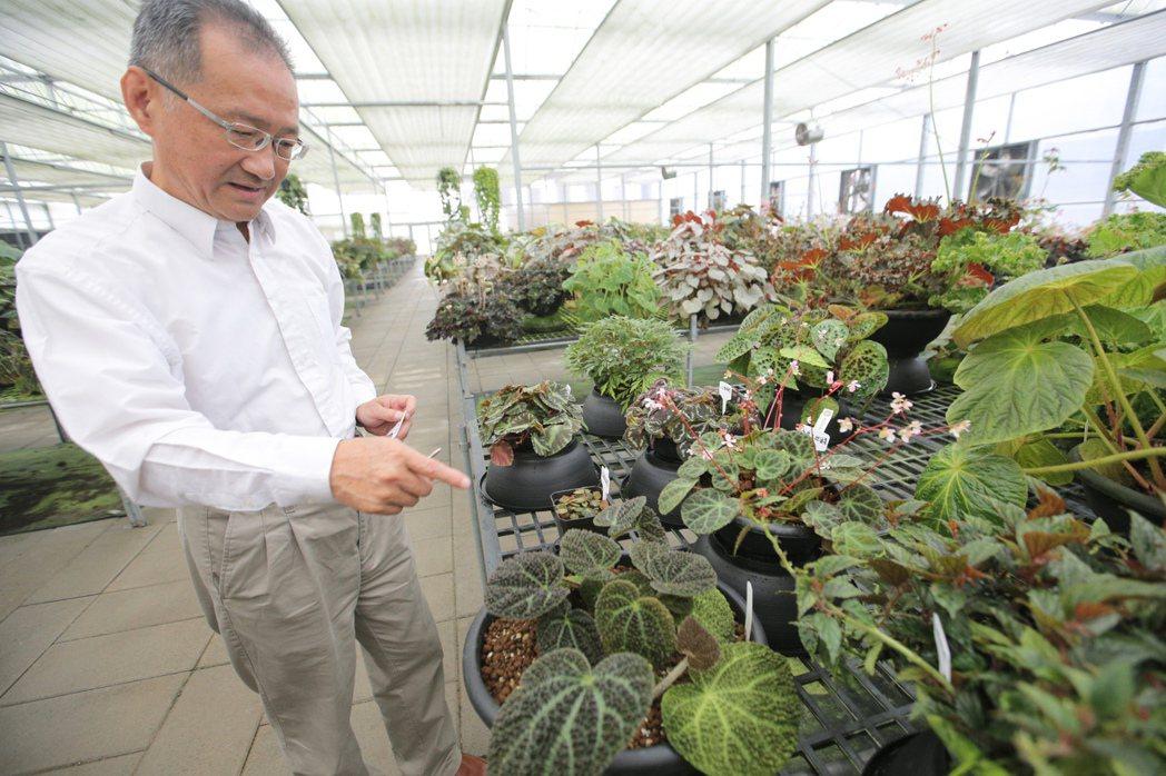 屏東保種中心專訪,李家維教授介紹少見的秋海棠品種。 記者劉學聖/攝影