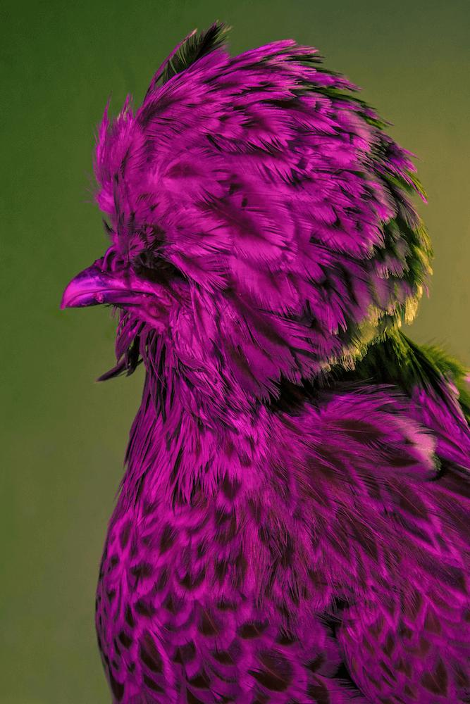 巴尼諾《時髦雞》。圖/取自The Photographer。