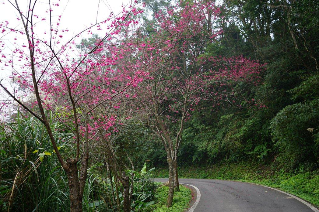 新竹縣橫山鄉通往大山背的沿途僅有少數櫻花開花。記者陳妍霖/攝影