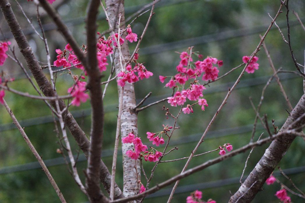 受到暖冬的影響,新竹縣山區的山櫻花較慢開。記者陳妍霖/攝影