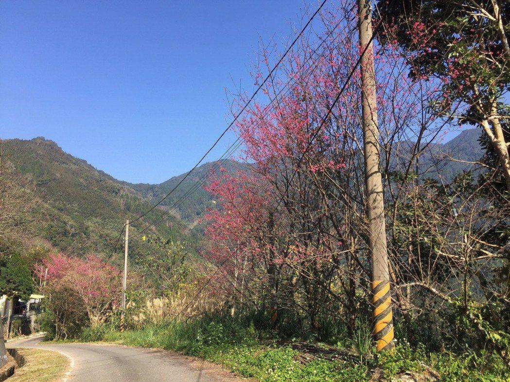 五峰前山區的山櫻花陸續盛開,沿途可見山櫻花景致。記者郭政芬/攝影
