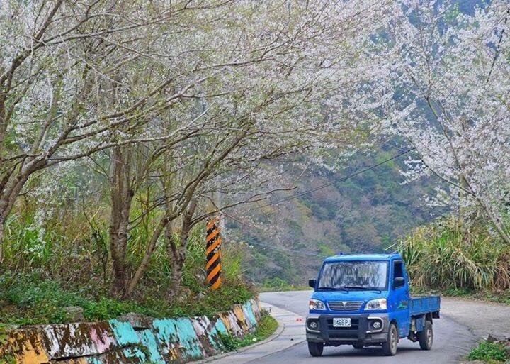 秀巒的霧社櫻相當美麗,開花時雪白一片,非常浪漫,目前還未開花。圖/陳沛妤提供