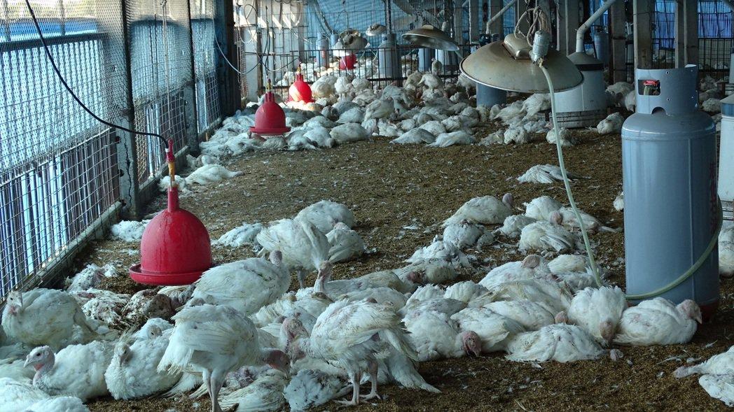 台南六甲某火雞養殖場大批雞群死亡,飼主損失逾百萬元。記者謝進盛/攝影