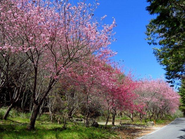 武陵農場的粉紅佳人櫻花已經開5成。圖/取自武陵農場官網
