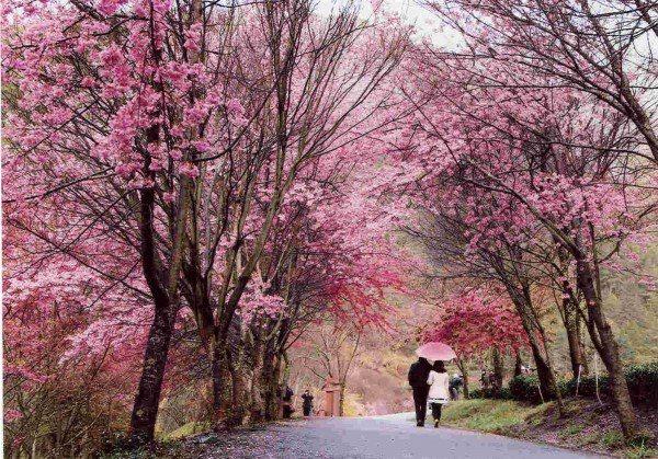 武陵農場應花季每年都吸引大批遊客參觀。圖/公路總局提供