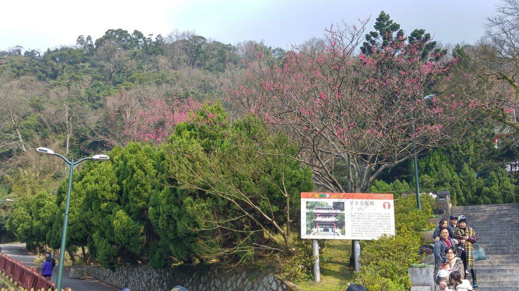 陽明山櫻花今年受暖冬影響,目前僅部分山櫻花開花。記者莊琇閔/攝影