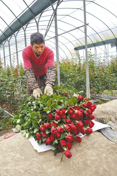 受到今年氣候、縮耕等影響,玫瑰產量減少1至3成,價格卻沒上揚。 記者賴香珊/攝影