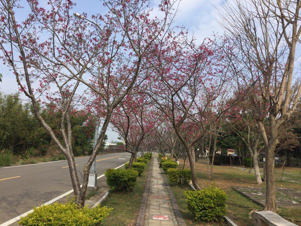 台中市新社櫻花季今天開跑,「櫻木花道」上粉嫩的山櫻花綻放,相當美麗。圖/台中市政...