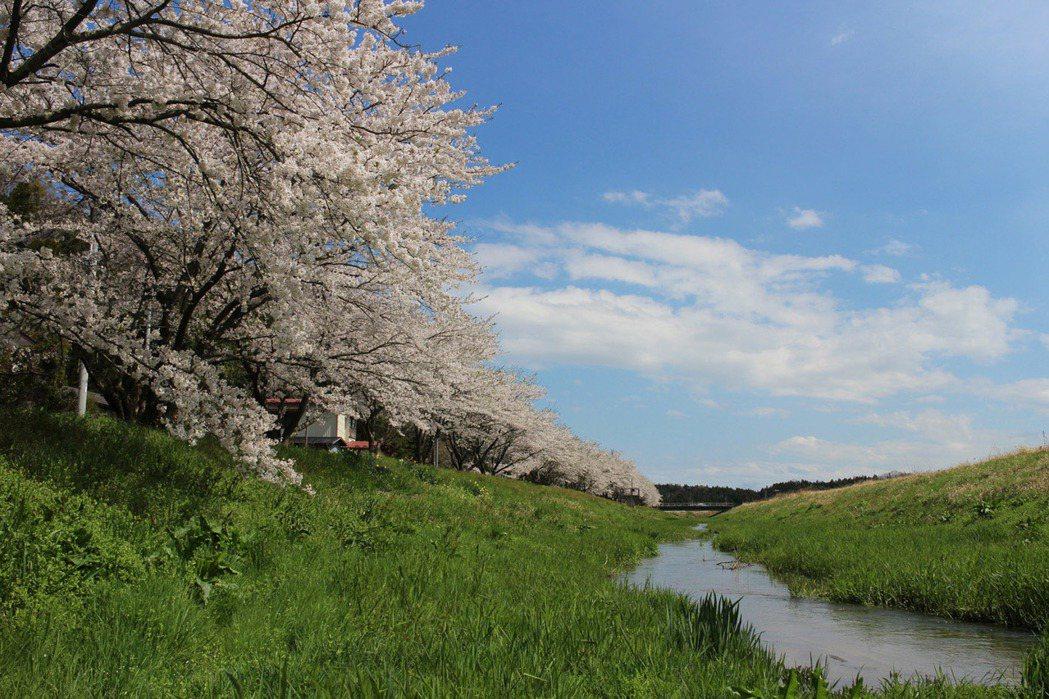高倉川櫻花樹道。圖/VISIT東北提供