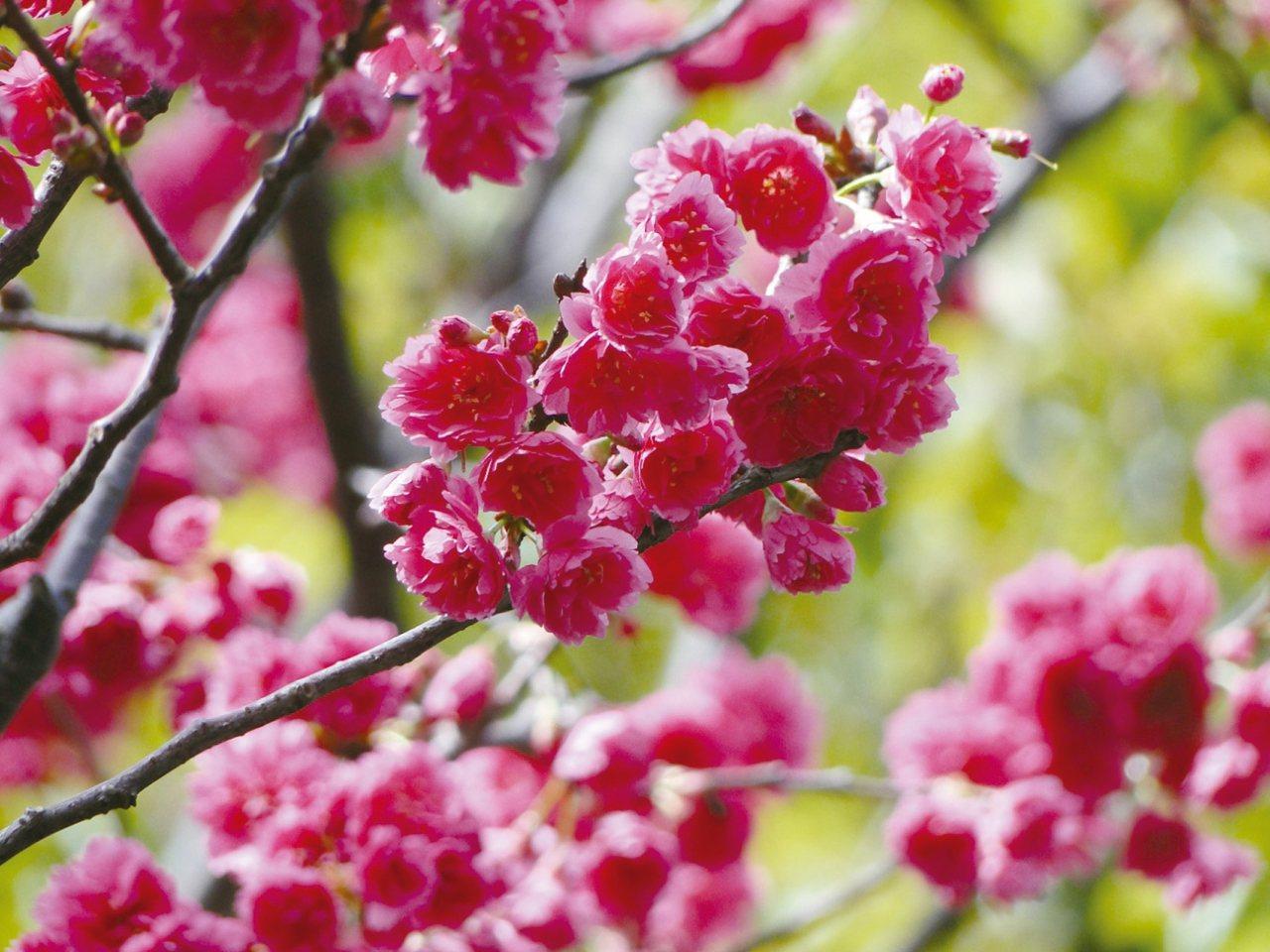 八重櫻又名牡丹櫻,其色桃紅,花瓣繁複多重。 圖/台北市工務局公園路燈工程管理處提...