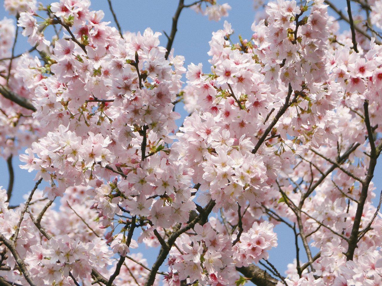 粉白色的吉野櫻淡雅怡人,是陽明山花季較晚盛開的櫻種。 圖/台北市工務局公園路燈工...