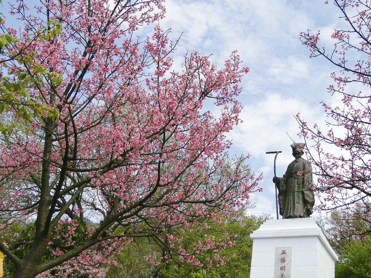 粉紅浪漫的櫻花是陽明山花季的一大亮點。 圖/台北市工務局公園路燈工程管理處提供