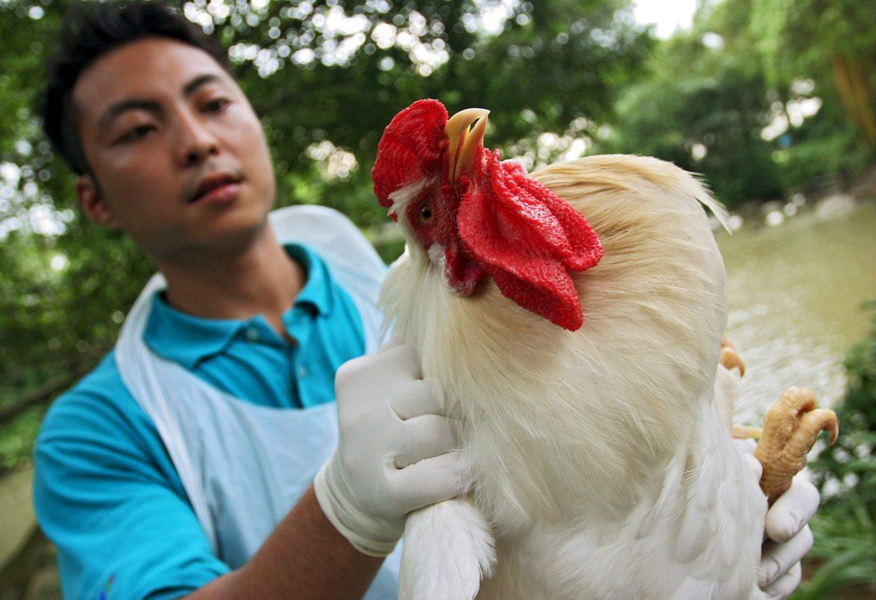 裕廊鸟园中有多达600多种飞禽,图为鸟园工作人员正在对鸡只进行血液取样工作。图...