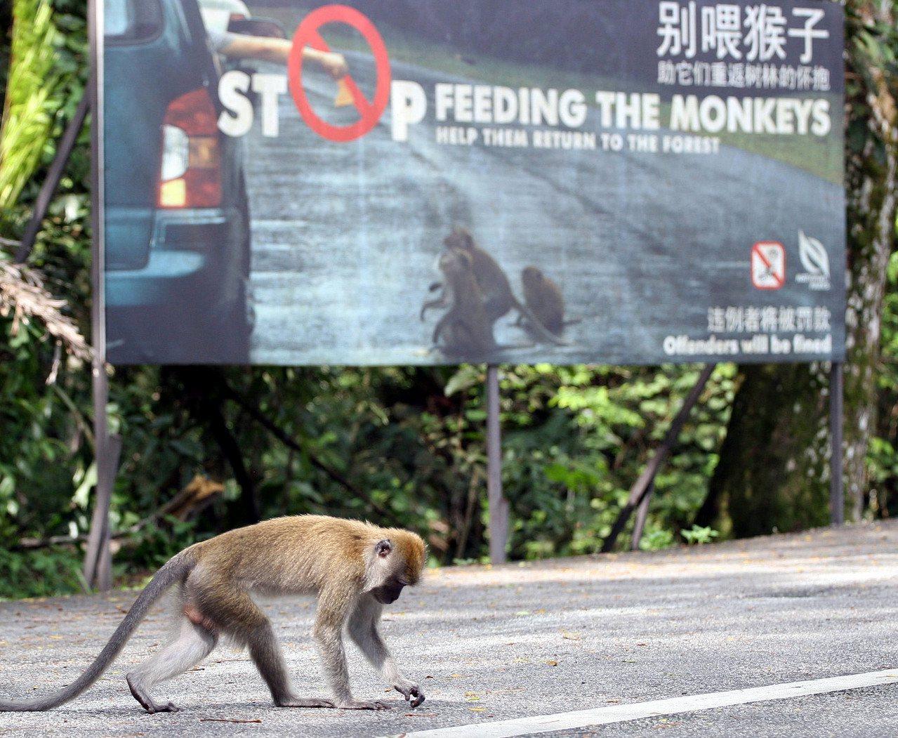 猴子与人之间的关系也成为新加坡的问题。图为新加坡的武吉知马自然保护区(Bukit...