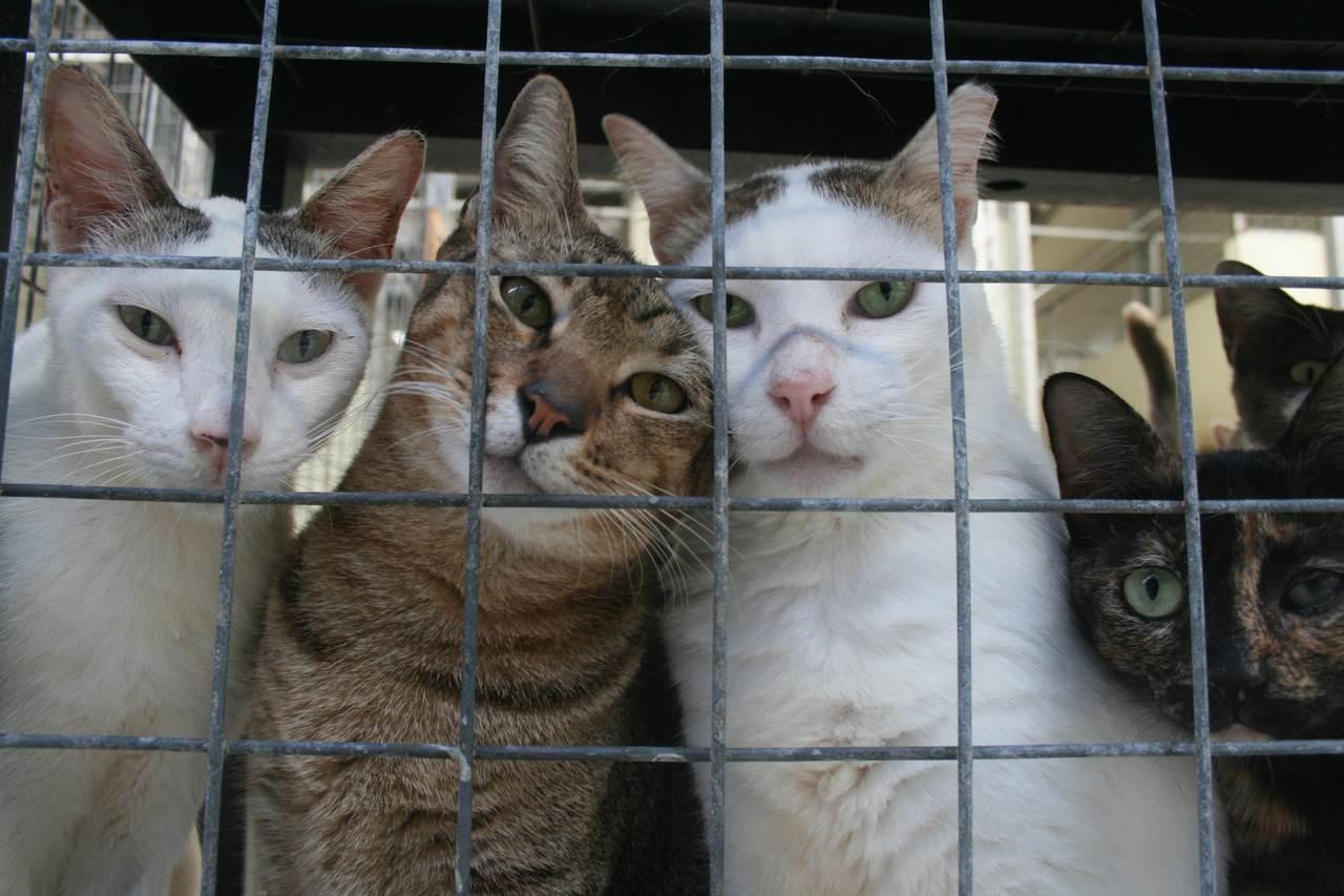 图为新加坡一间大型庇护所,收容超过1,400只猫。据估计新加坡约有6万多只流浪动...