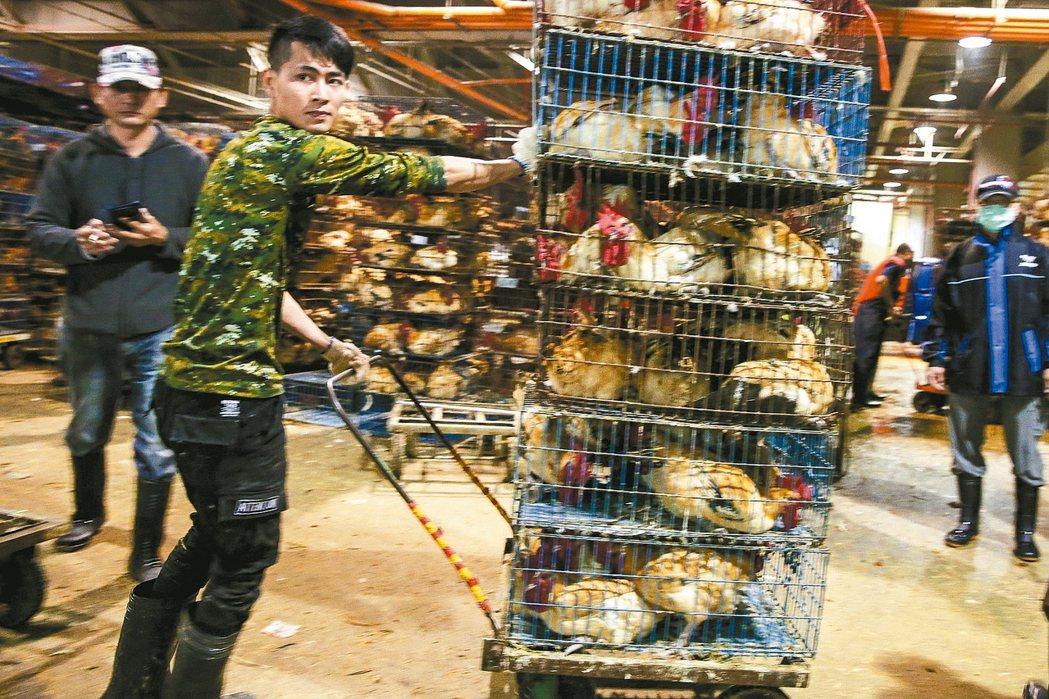 農委會宣布全國家禽禁運禁宰7天,許多雞隻今天湧入台北市家禽批發市場,雞販們忙進忙...