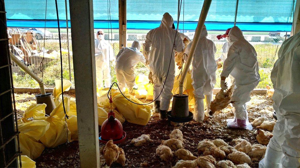 禽流感疫情擴大。歐新社